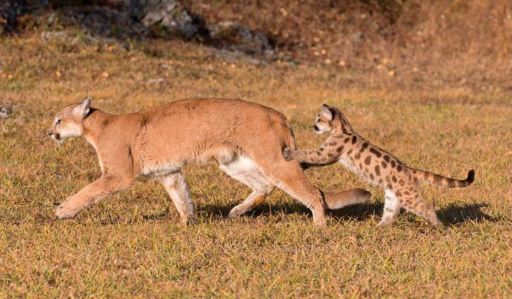 How Wolves Drive Down Mountain Lion Populations