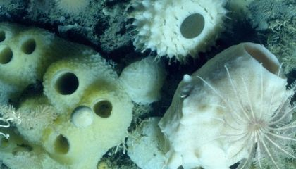 Glass Sponges Move In As Antarctic Ice Shelves Melt