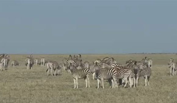 Preview thumbnail for video'Zebra Tracking
