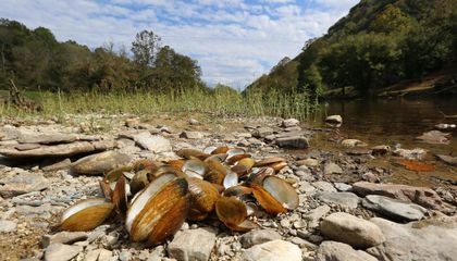 Scientists Don't Know Why Freshwater Mussels Are Dying Across North America