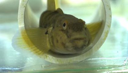 Some Fish Fins Are as Sensitive as a Primate's Fingertips