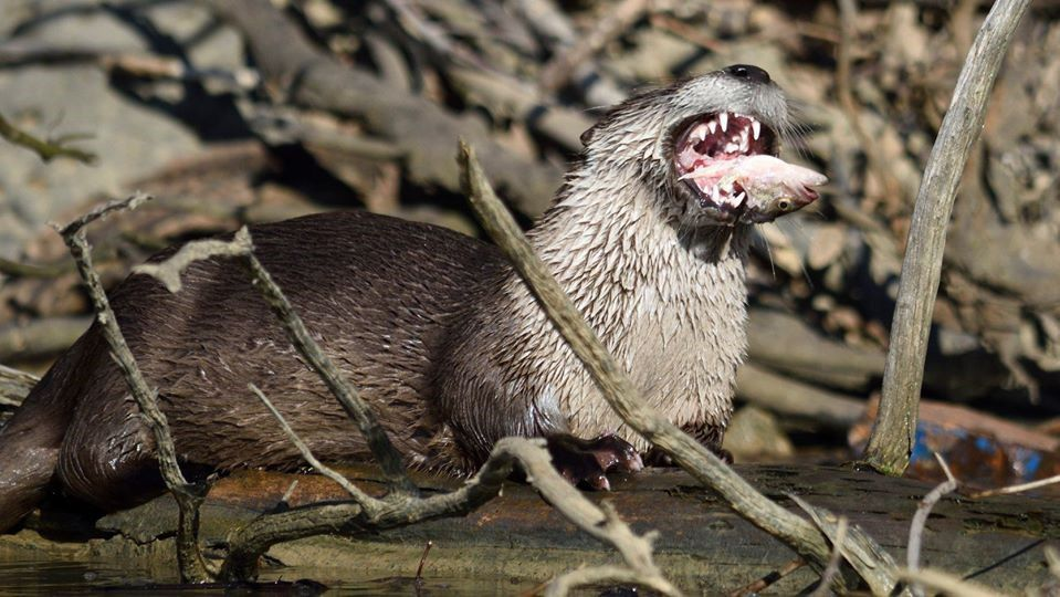 River otter with mouth wide open and a fish head sticking out