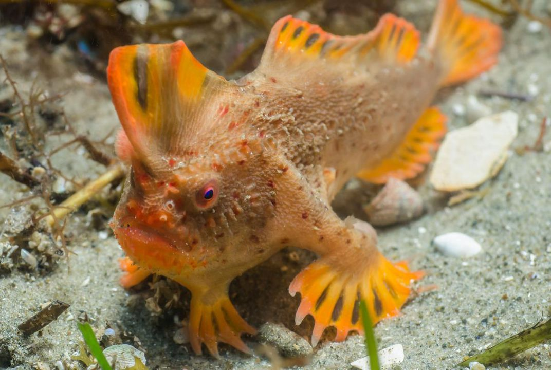 Extremely rare and peculiar fish found off coast of for Nourriture poisson rouge super u