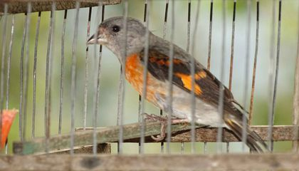 Heavily Trafficked Songbirds a Victim of Venezuelan Collapse