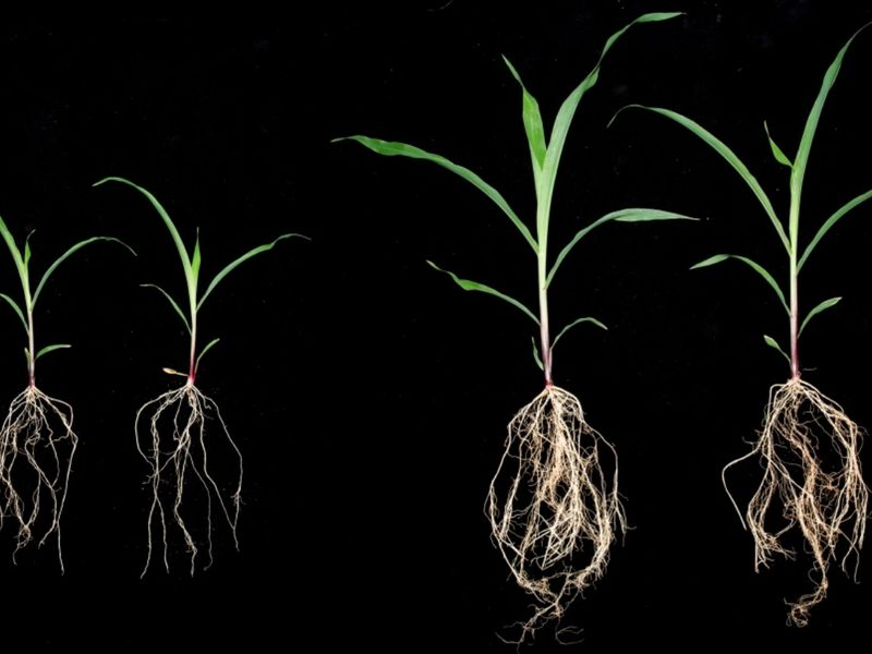 corn plants inoculated with sugarcane microbes comparison
