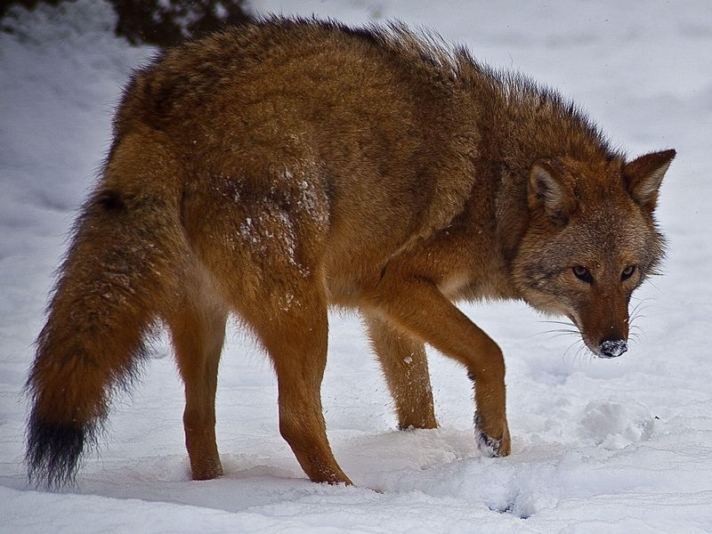 Coywolves Are Taking Over Eastern North America Smart News