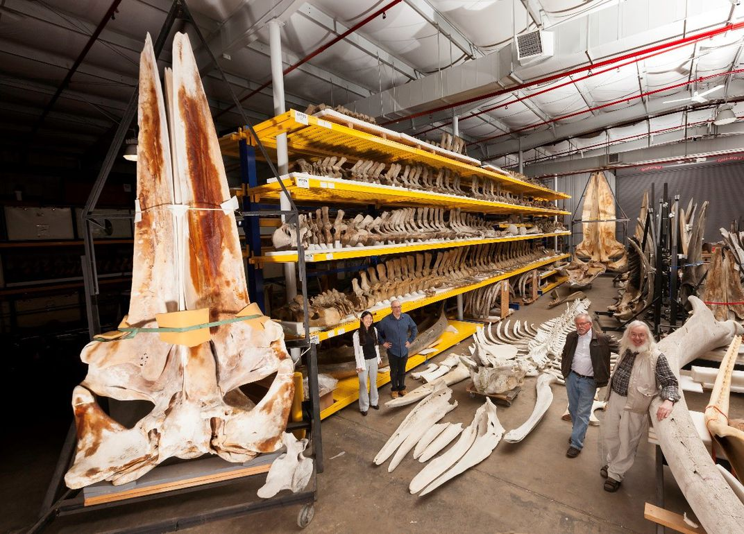 Massive whale skeletons on yellow storage shelves in a warehouse at the Smithsonian's Museum Support Center.
