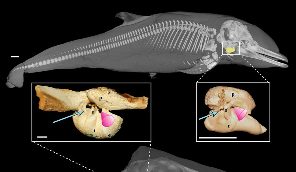 """The research team became the first group of scientists to identify and depict in situ the development of a specific area of the ear found exclusively in whales known as the """"acoustic funnel"""" (above: pink cone), a structure thought to be a critical component to better understanding how baleen (bottom) and toothed whales (top) hear in their aquatic environments."""