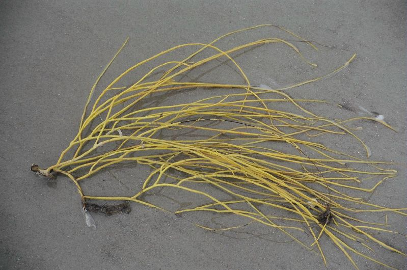 Sea whip coral pictured in washed up in the sand. It is yellow in color and features multiple strands.