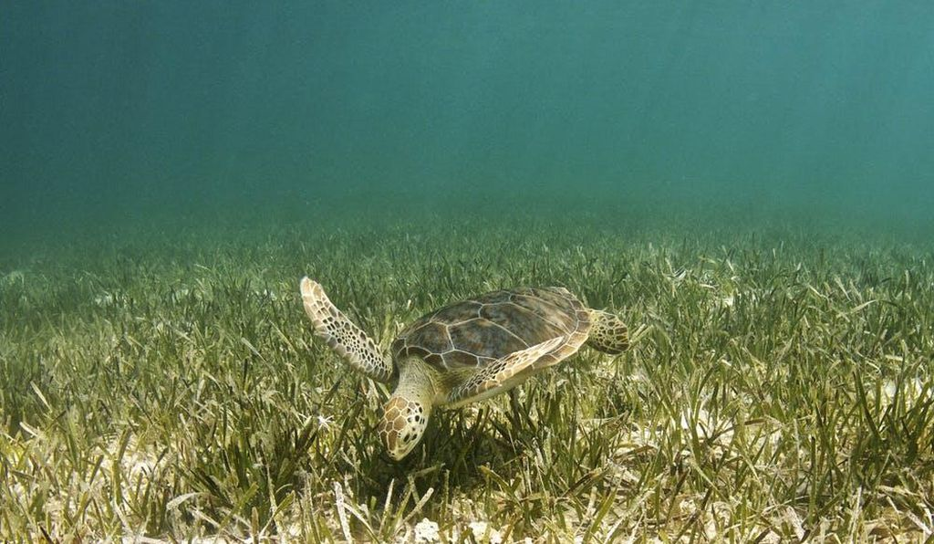 Seagrass can grow at depths of up to 90m and is an important part of the food web.