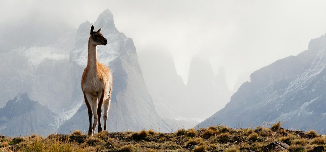 Guanaco in the Andes