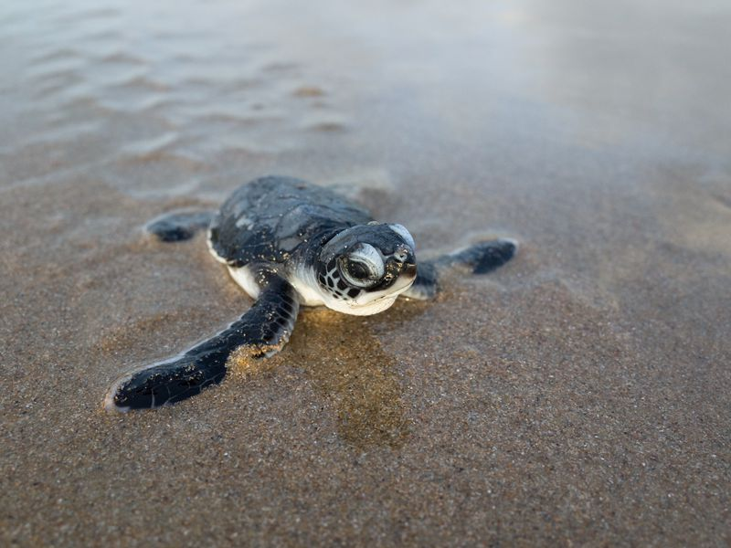 Australia's green turtle may become extinct, say report