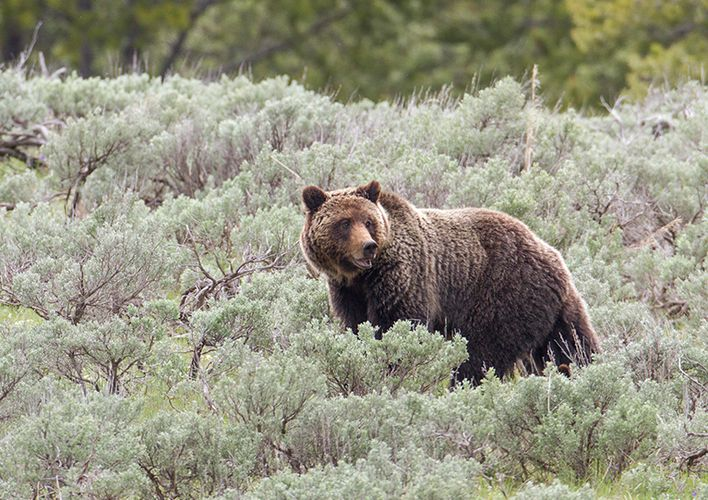 Caption: Yellowstone Grizzly Removed From Endangered List
