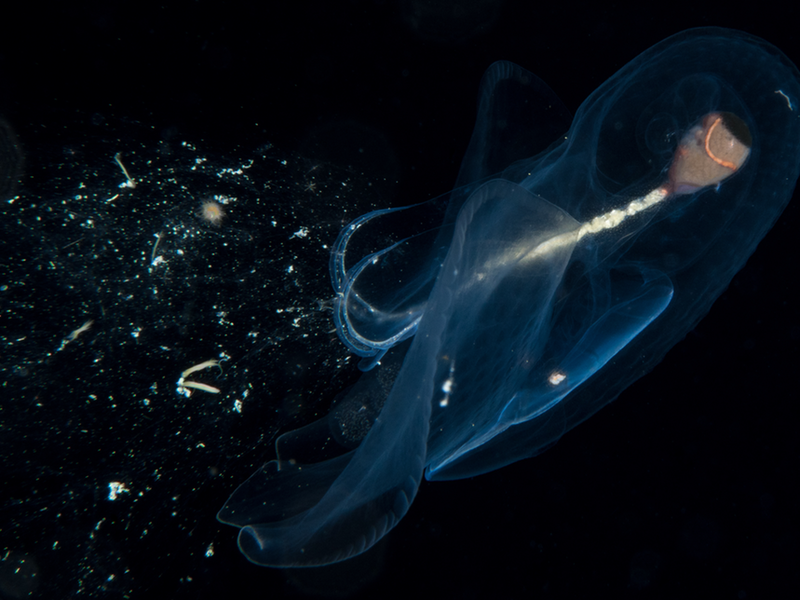 A pelagic snail ensnares food with with a mucous web.