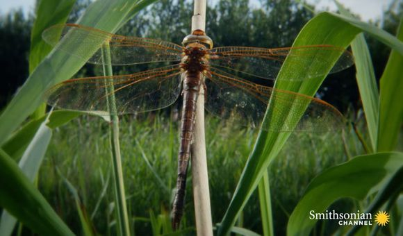 Preview thumbnail for video'Stunning Timelapse of a Dragonfly Growing Wings