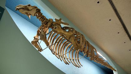 """""""Mermaid Ivory"""" Stirs Controversy Over How Extinct Species Are Studied"""