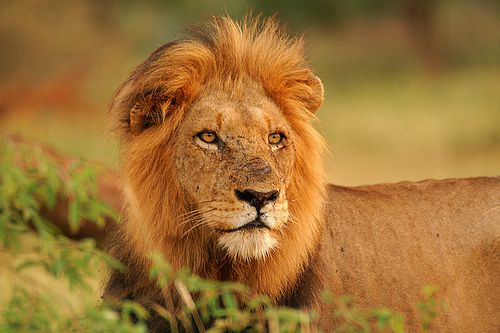 There Is a Way to Make Lion Hunting Good for Lions | Smart News