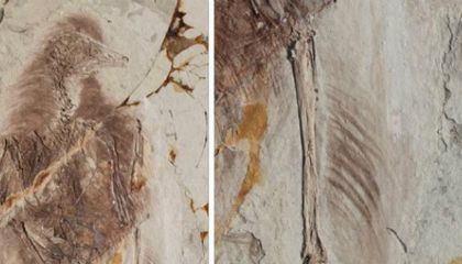 Prehistoric Birds May Have Used Four Wings to Fly