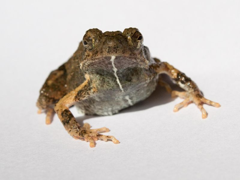 City Frogs' Sweet Serenades Attract More Mates