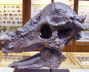 Skull of Pachycephalosaurus at the Oxford University Museum of Natural History
