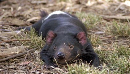 Study Offers Hope for Tasmanian Devils, Once Thought Doomed by Infectious Cancer