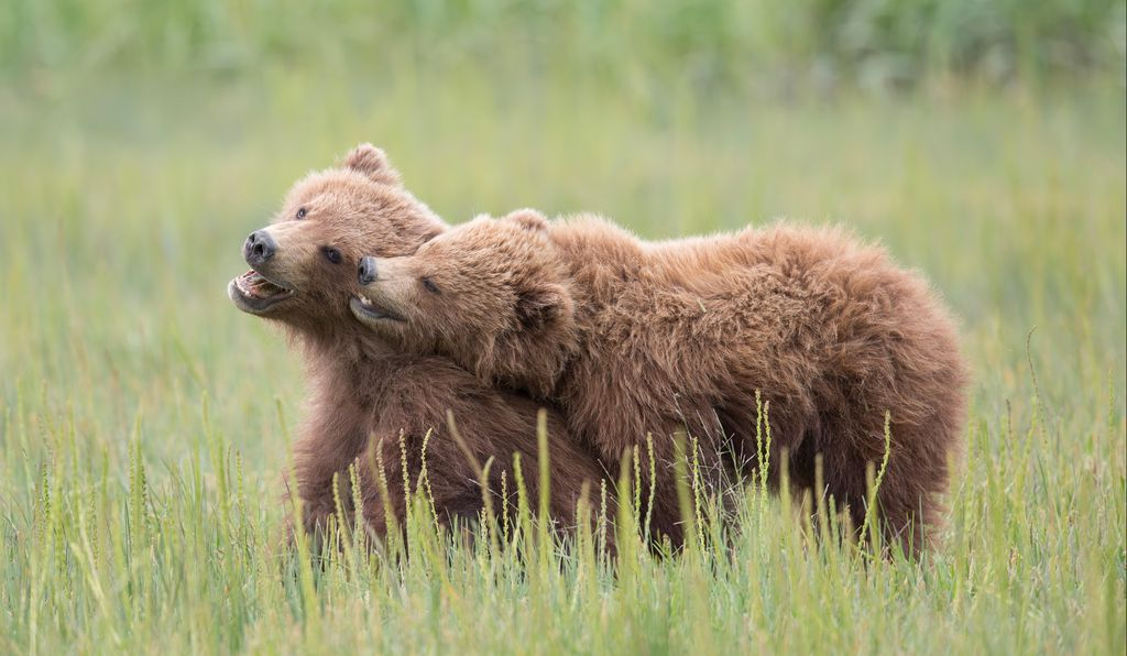<i>Brown Bear Cubs</i> by Ashleigh Scully, winner of the 2017 Youth Photographer of the Year