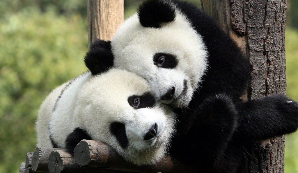 The park will unite dozens of existing panda preserves and protected areas