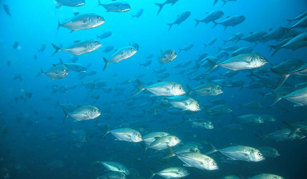 A school of jacks in Coiba National Park, Panama, a UNESCO World Heritage site