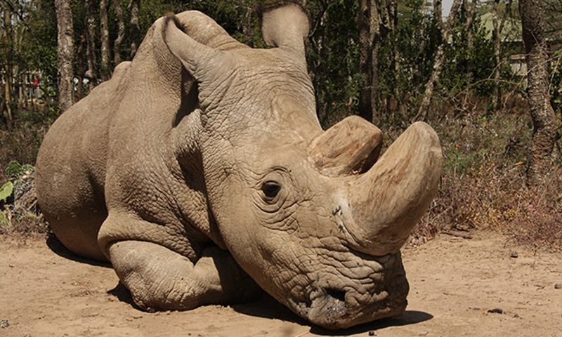 Health of world's last male northern white rhino is deteriorating
