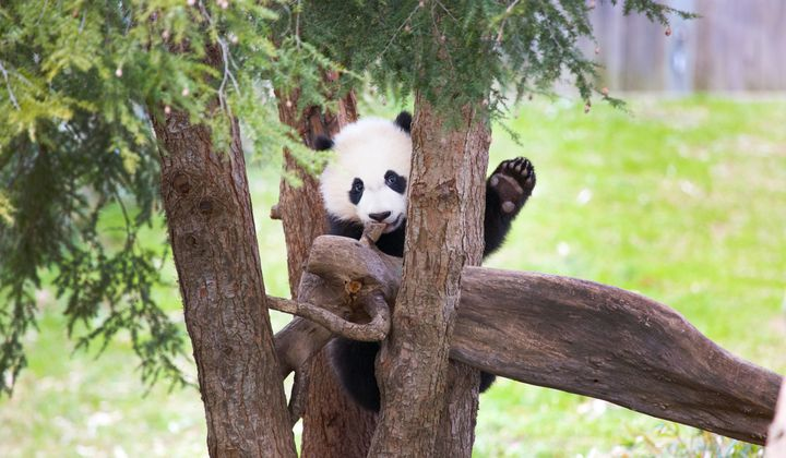 National Zoo Says Bye Bye to Bei Bei