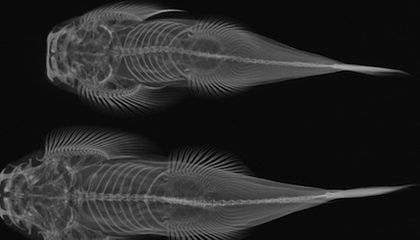 Events July 31-Aug 2: X-Ray Fish, Imperial India and Club Native