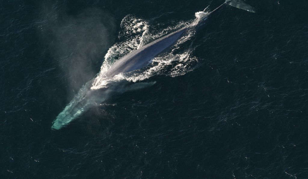 Blue whales have the largest penis in the animal kingdom—around eight to ten feet.