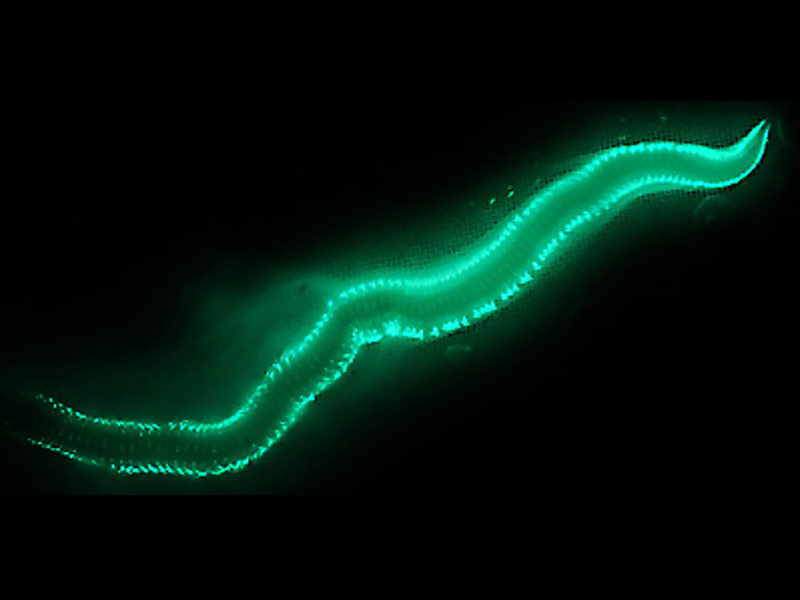 A Unique Enzyme Gives Bermuda Fireworms Their Glow Fireworm1