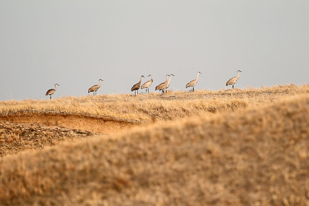 Spring Is In Air Cranes Are Returning >> 500 000 Cranes Are Headed For Nebraska In One Of Earth S Greatest