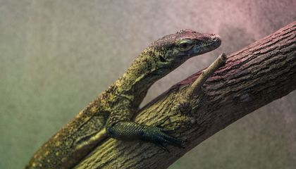 Reptile keepers are warming up to a new monitor lizard this winter, a young Komodo dragon named Onyx.