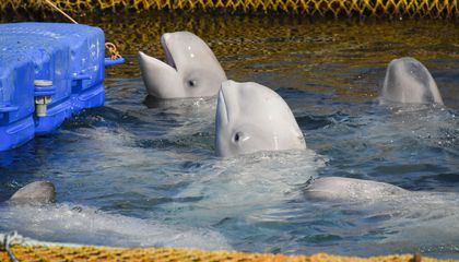Russia Frees Last Belugas from Notorious 'Whale Jail'