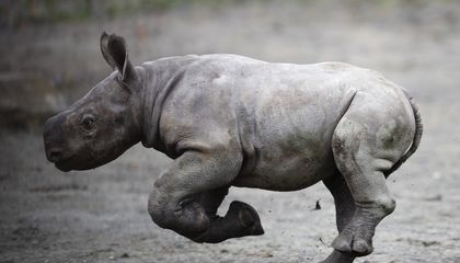 Image: Czech zoo cheers birth of endangered eastern black rhino