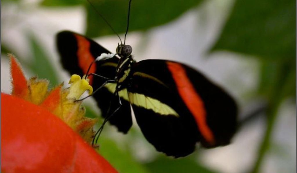 A <i>Heliconius melpomene rosina</i> butterfly rests on a flower.