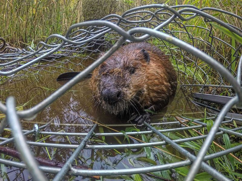 Trapped Beaver