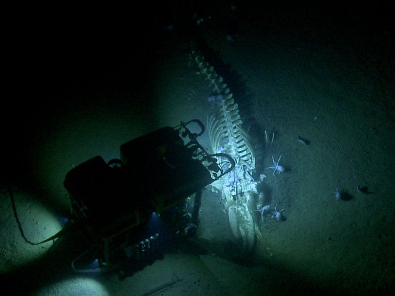 Whale skeleton with octopuses swimming nearby