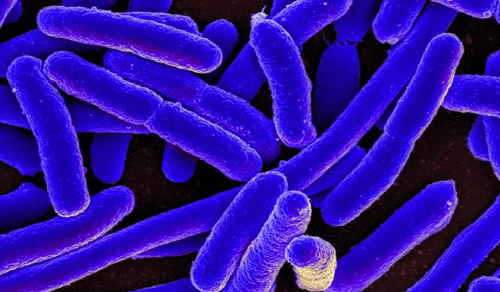 Scientists Create E. Coli With Synthetic Genome