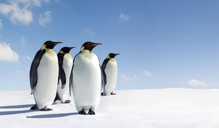 The Complicated Calculus of Counting Penguins