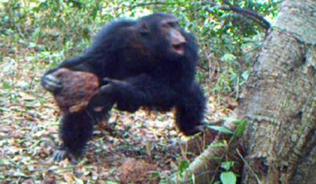 One of the chimpanzees caught on camera throwing stones at hollow trees in the Republic of Guinea