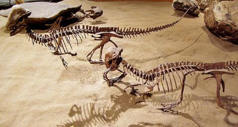 A pair of Stegoceras on display at the Royal Tyrrell Museum, Alberta, Canada.