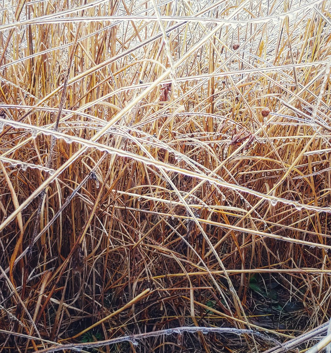 A stand of tall, thin grasses covered in a layer of ice.