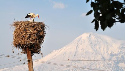 Storks near Ararat in Armenia