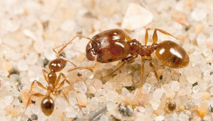 "This ""Useless"" Organ Determines Which Ants Grow Into Large Soldiers"