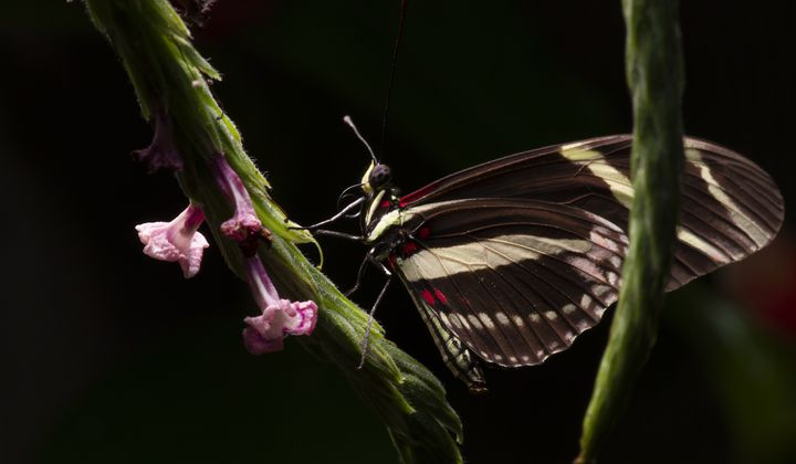 What Butterflies Teach Us About Evolution's Path