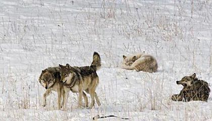 Wolves in the northern Rockies