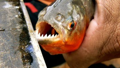 Piranha Recipes From an Extreme Angler